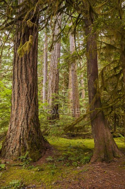 Стволы деревьев в Северо Каскады национального парка, Вашингтон, США — стоковое фото
