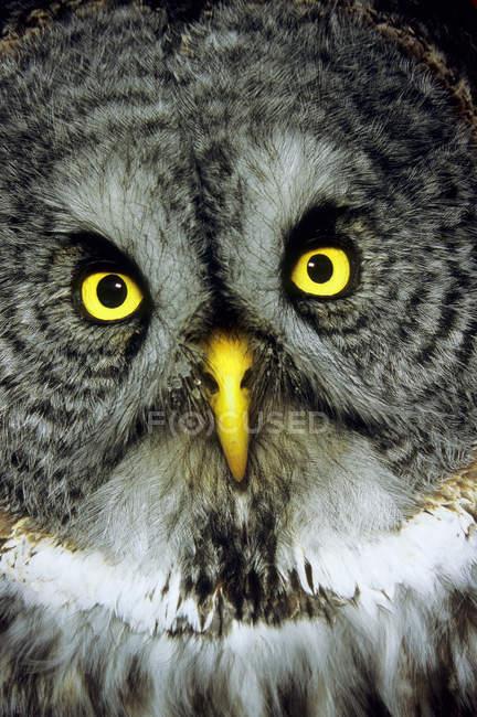 Grande gufo grigio adulto, ritratto da vicino . — Foto stock