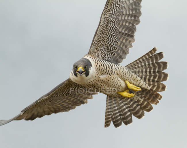 Falco grigio volare con ali spiegate nel cielo blu, close-up. — Foto stock