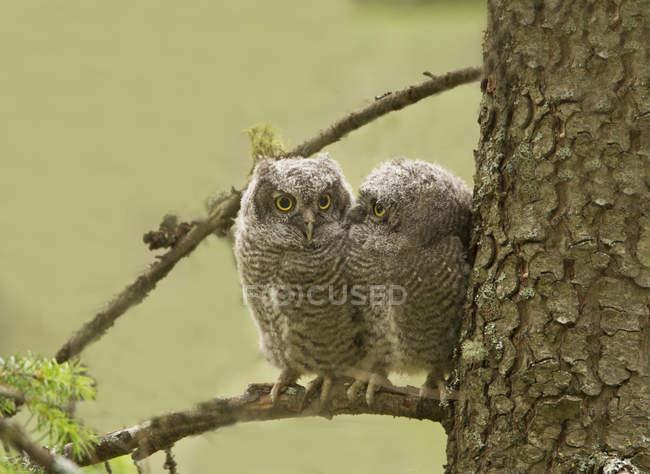 Западные скрипучие совы сидят на еловой ветке . — стоковое фото