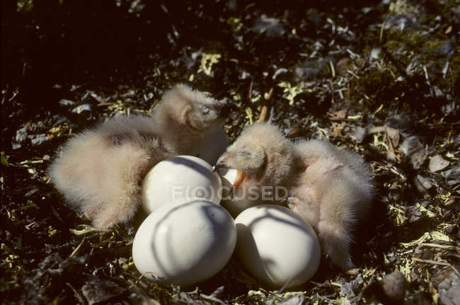 Newly hatching short-eared owlets in nest. — Stock Photo
