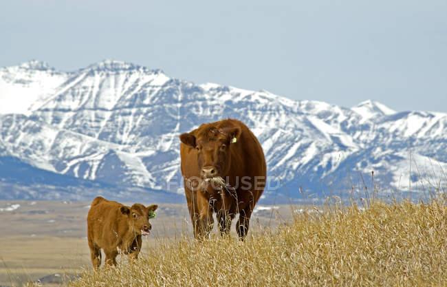 Rote Angus Kuh mit Kalb grasen auf der Weide in Waterton Lakes Nationalpark, Alberta, Kanada. — Stockfoto