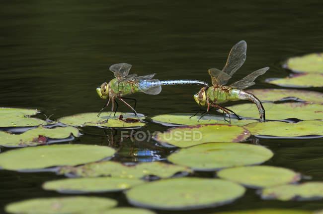 Gemeinsamen grünes Darner Libellen Landung auf Seerosen. — Stockfoto