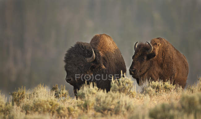 Plains bisons grazing in meadow of Yellowstone National Park, Montana, USA — Stock Photo
