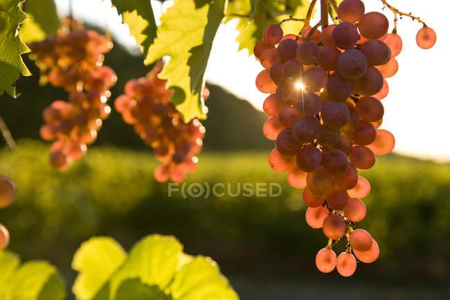 Закри Піно Нуар винограду ростуть у винограднику. — стокове фото