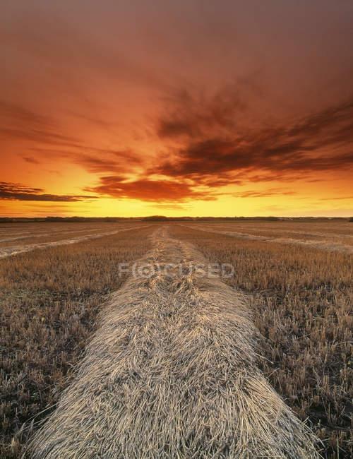 Culturas de trigo colhidas ao pôr do sol no outono, Leduc, Alberta, Canadá — Fotografia de Stock
