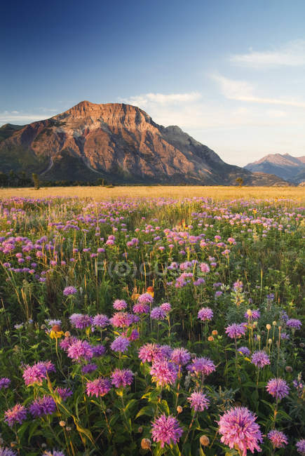 Wild bergamot and wildflowers growing at Vimy Ridge, Waterton National Park, Alberta, Canada. — Stock Photo