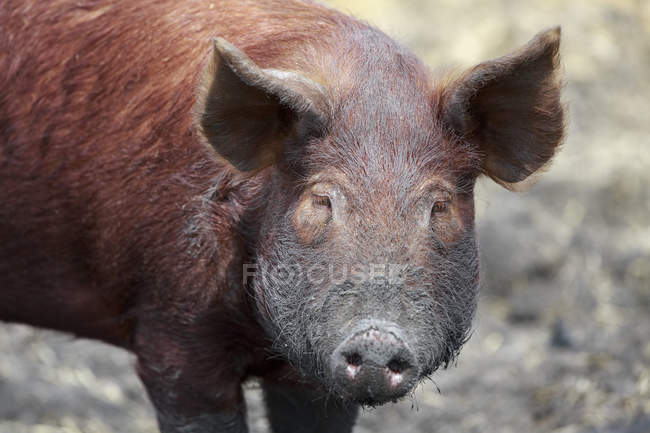 Tamworth-Schwein zu Fuß im Schlamm, Fort Whyte, Manitoba, Kanada — Stockfoto