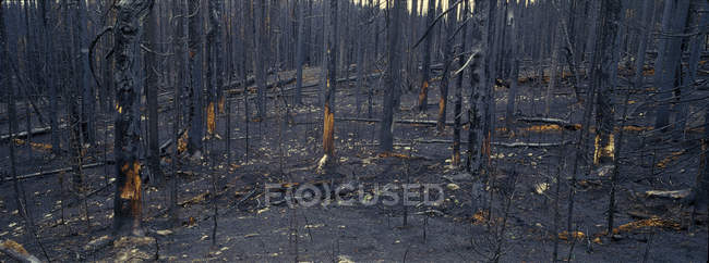 Burnt forest of spruces and subalpine firs after forest fire in Tweedsmuir Provincial Park, British Columbia, Canada — Stock Photo