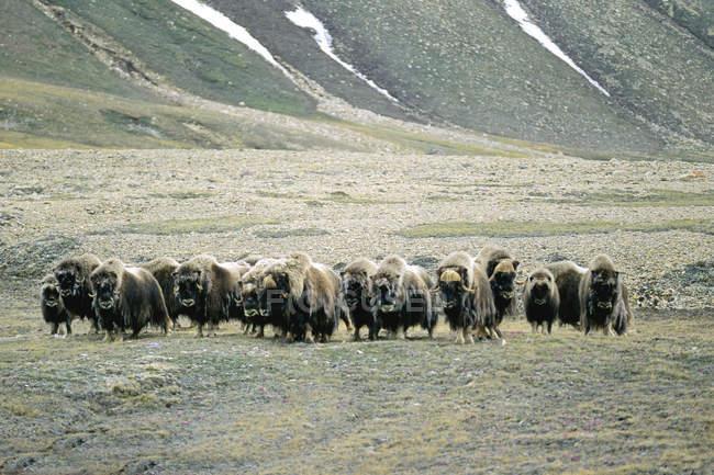 Manada de bueyes almizcleros que se desplazan por la pradera en Victoria Island, Nunavut, Arctic Canada - foto de stock