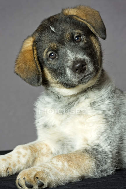 Portrait of mixed breed puppy with tilted head on gray background. — Stock Photo