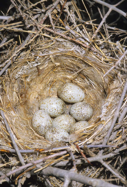 Unechte Shrike Nest in Prairie Grasland, Süd-Alberta, Kanada — Stockfoto