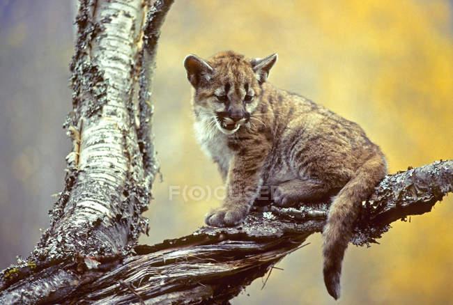 Puma-Kätzchen auf Ast sitzend, Nahaufnahme. — Stockfoto