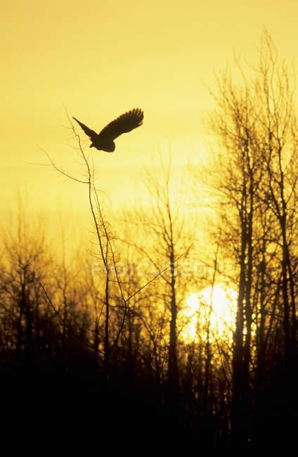 Silueta de adultos gran búho gris volando en un bosque en puesta de sol. - foto de stock