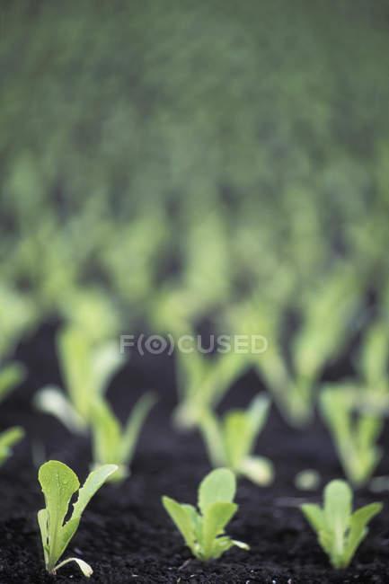 Germogli di lattuga di burro in terreno di casa calda — Foto stock