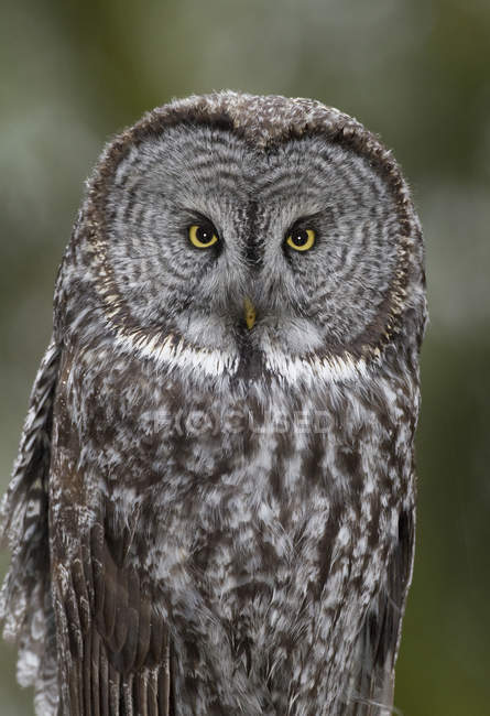 Portrait of adult great grey owl looking in camera. — Stock Photo