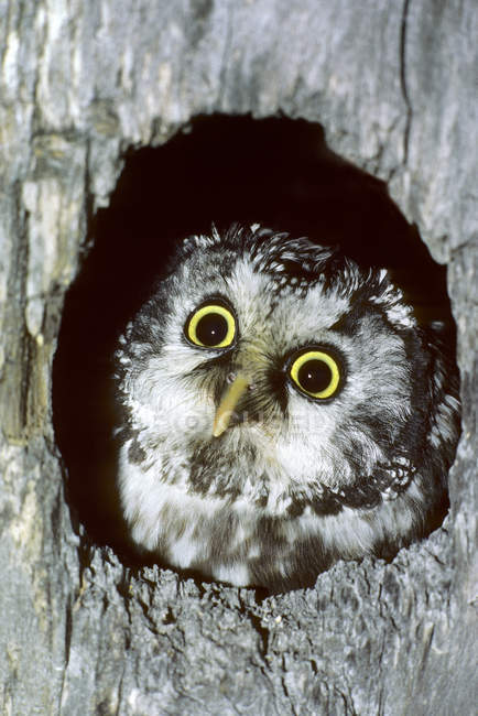 Adult boreal owl peering from nest in tree hollow. — Stock Photo