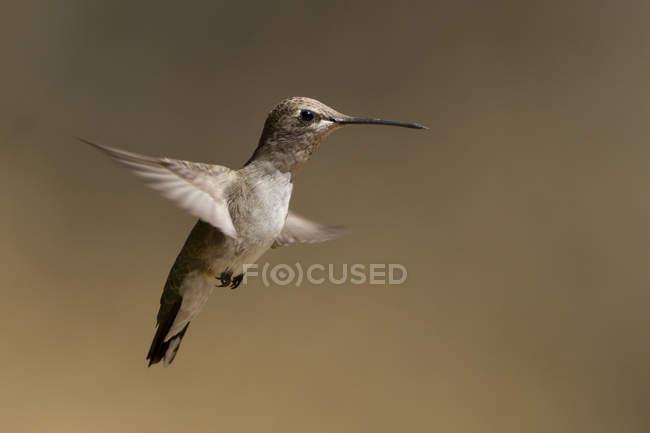 Закри чорний chinned колібрі паряться в польоті. — стокове фото