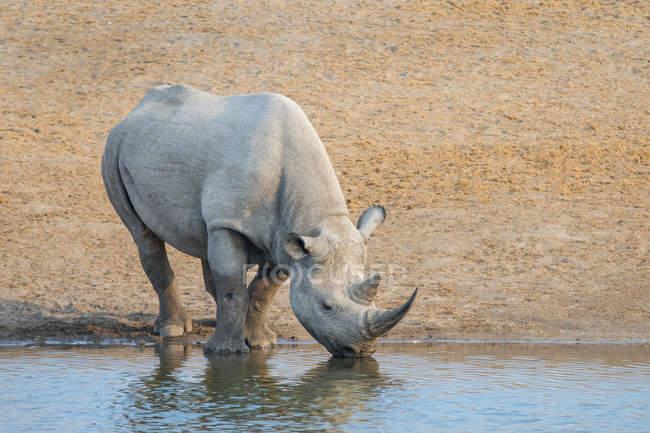 Rinoceronte negro en peligro de extinción en el agujero del agua en Parque Nacional de Etosha, Namibia - foto de stock