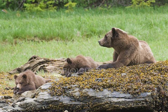 Гризли и детенышей, отдыхая на замшелых камнях в зелёный луг. — стоковое фото