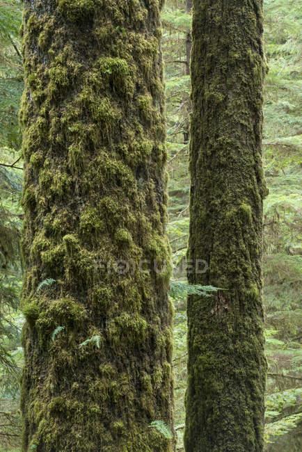 Abetos vermelhos de Sitka cobertas de musgo de árvore troncos na trilha da floresta perto de Tofino, Colúmbia Britânica, Canadá — Fotografia de Stock