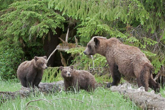 Гризли медведица с медвежатами, стоя в зеленый травяной луг. — стоковое фото