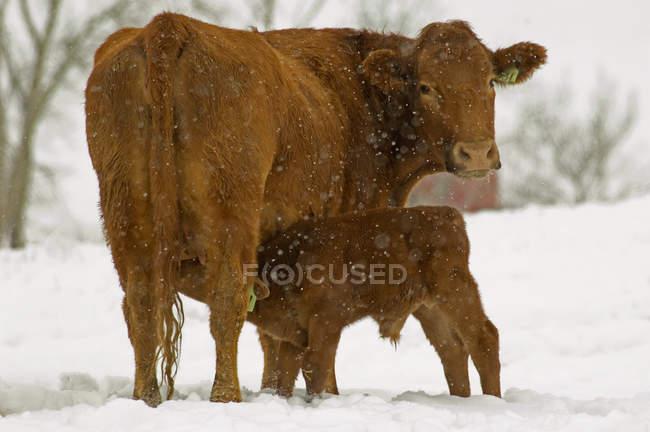 Червоні корови Ангус годування теля на snowy сфера в Альберті, Канада. — стокове фото