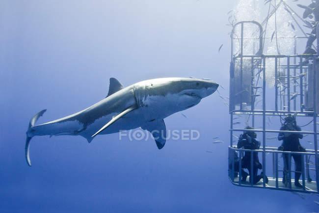 До неузнаваемости людей, акулий дайвинг для большой белой акулы в воде на Isla Гуадалупе, Баха, Мексика — стоковое фото