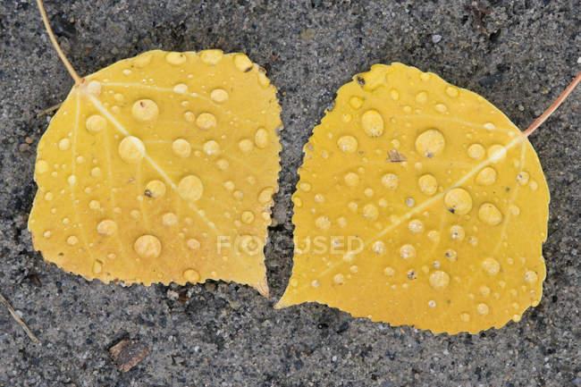 Primer plano de hojas de álamo temblorosas en la arena - foto de stock