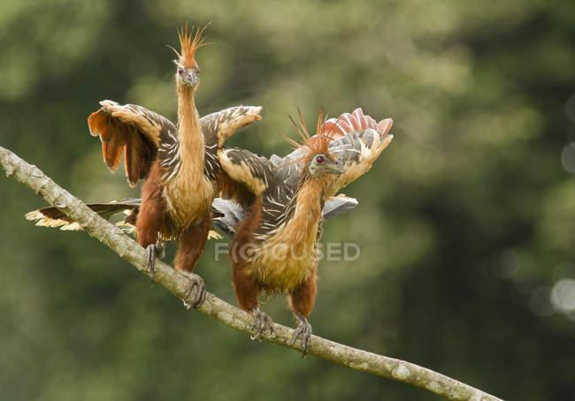 Exotic hoatzin birds perched on branch in Amazon Basin, Ecuador — стоковое фото
