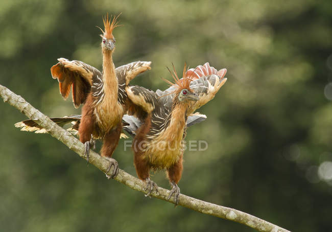 Exotic hoatzin birds perched on branch in Amazon Basin, Ecuador — Stock Photo
