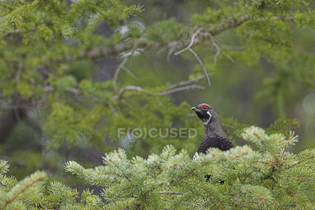 Male spruce grouse sitting in conifer trees — стоковое фото