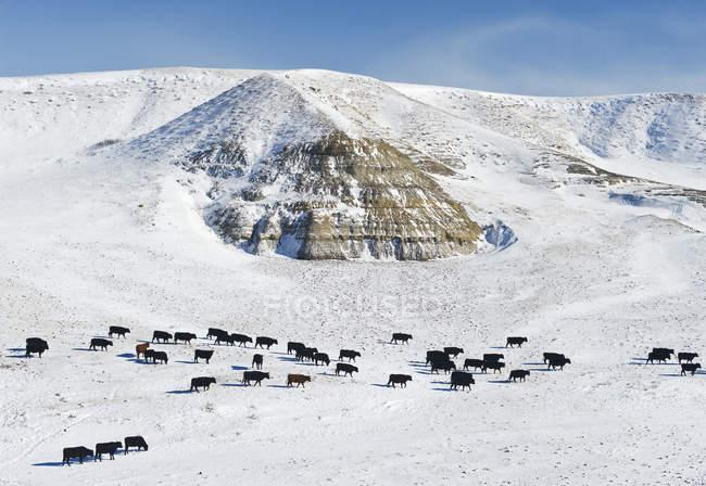 Rinder im Schneefeld von großen schlammigen Badlands, saskatchewan, canada — Stockfoto