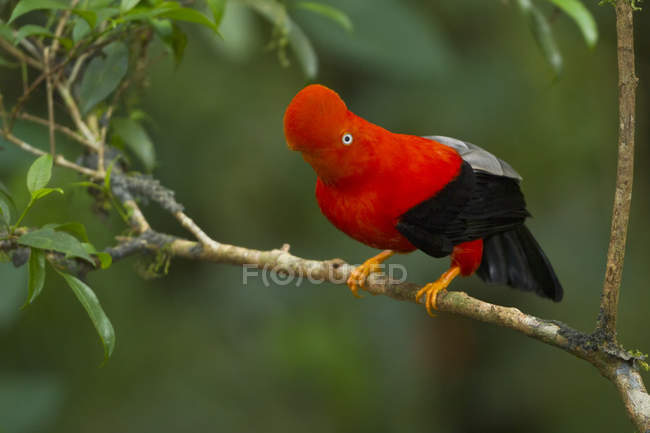 Andean cock-of-the-rock perched on branch in forest. — стоковое фото