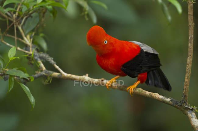 Rupicole andina che si è appollaiato sulla filiale nella foresta. — Foto stock