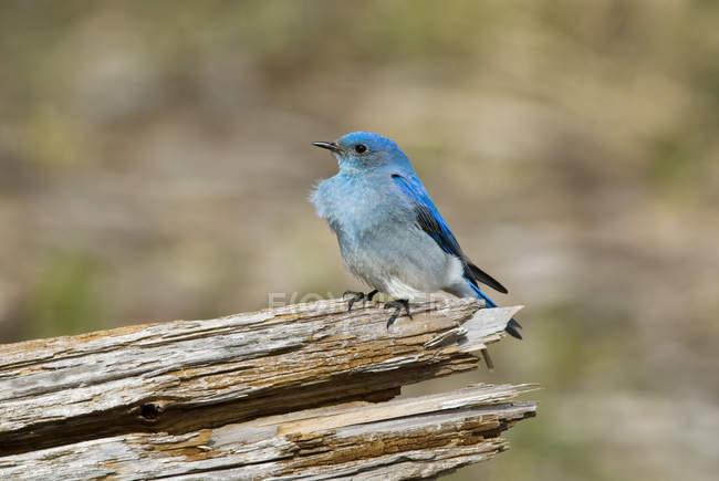 Pássaro azul montês sentado no log na floresta, close-up — Fotografia de Stock