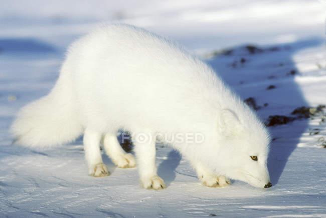 Zorro del Ártico adulto alimentándose en la nieve. - foto de stock