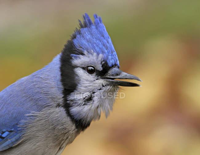 Портрет голубая сойка птица с гребнем на открытом воздухе. — стоковое фото