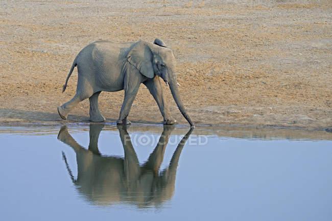 Elefante africano andando na beira do poço de água do Parque Nacional de Etosha, Namíbia, África do Sul — Fotografia de Stock