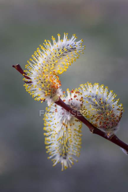 Salgueiro amentilhos no ramo de árvore, close-up — Fotografia de Stock