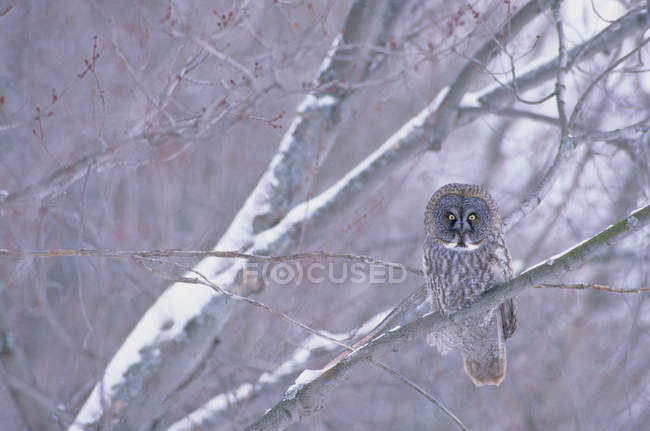 Great gray owl perching on snow covered tree branch in forest. — Stock Photo