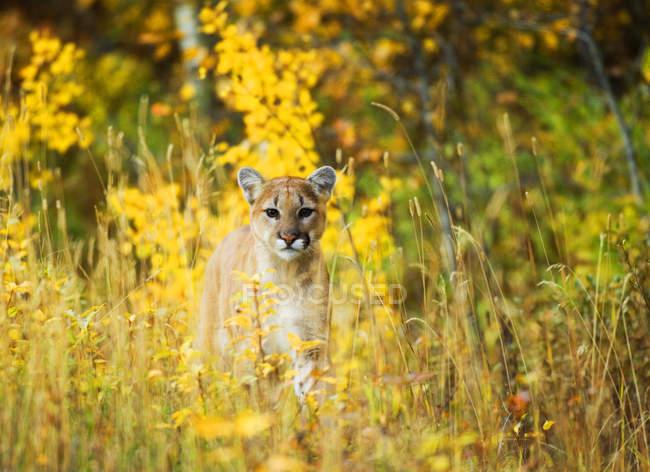 Juvenile Cougar sitzen in Blumenwiese, Nahaufnahme. — Stockfoto