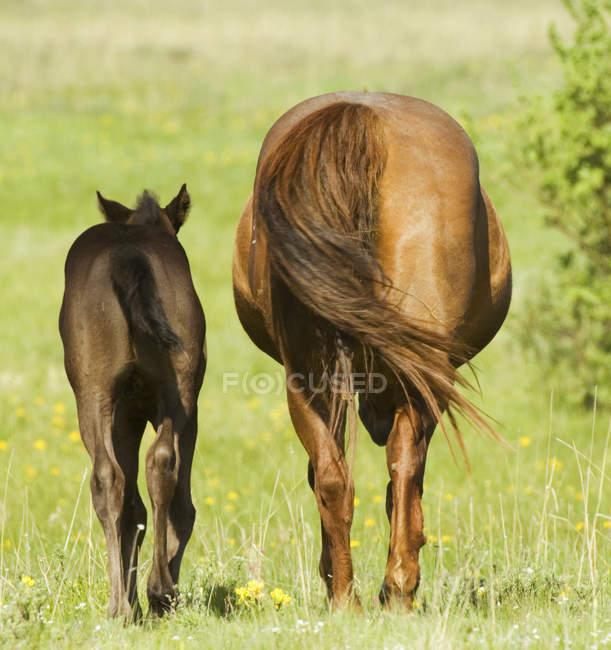 Quater Pferde mit Fohlen auf der Weide auf der Ranch in Alberta, Kanada — Stockfoto