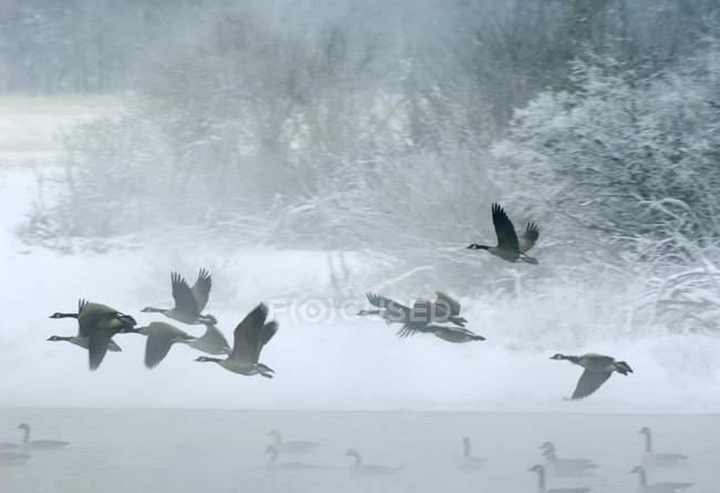 Канада гусей політ і плавання у воді в озер Ватертона, Альберта, Канада. — стокове фото