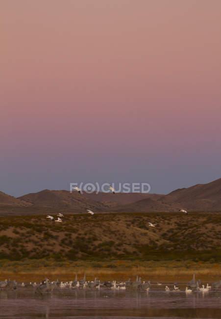 Песчаная краны и снег гуси сидели на берегу в Нью-Мексико, США — стоковое фото