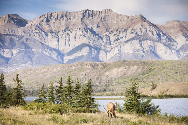 Rocky Mountain elk grazing in mountains of Jasper National Park, Alberta, Canada. — Stock Photo