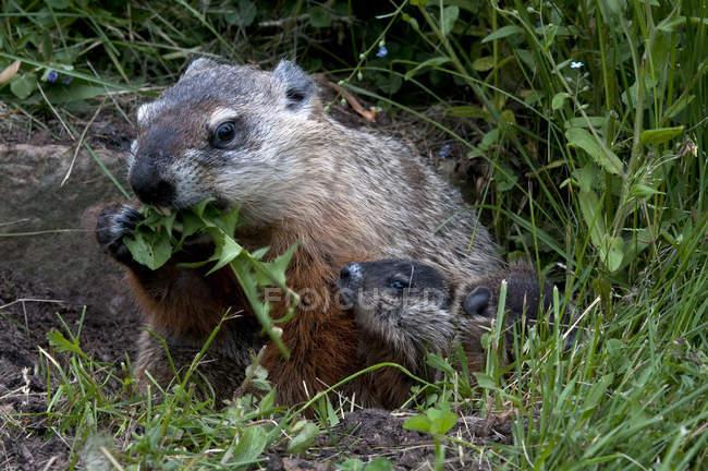 Groundhogs їдять листя кульбаби в лузі Міннесота, США — стокове фото