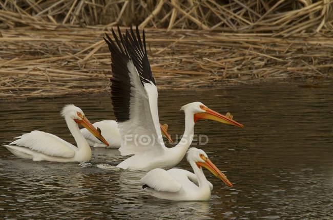 Американський білих пеліканів плаваючий на воді з розкритими крилами. — стокове фото