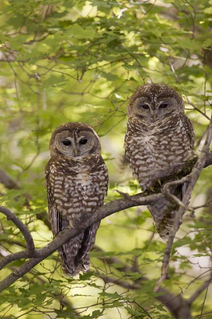 Мексиканська плямистий сови сидить на гілці дерева. — стокове фото