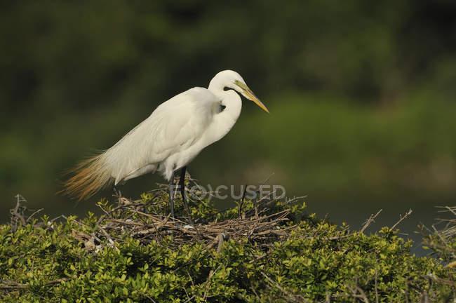 Bianco Airone bianco sul puntello del lago erboso verde. — Foto stock